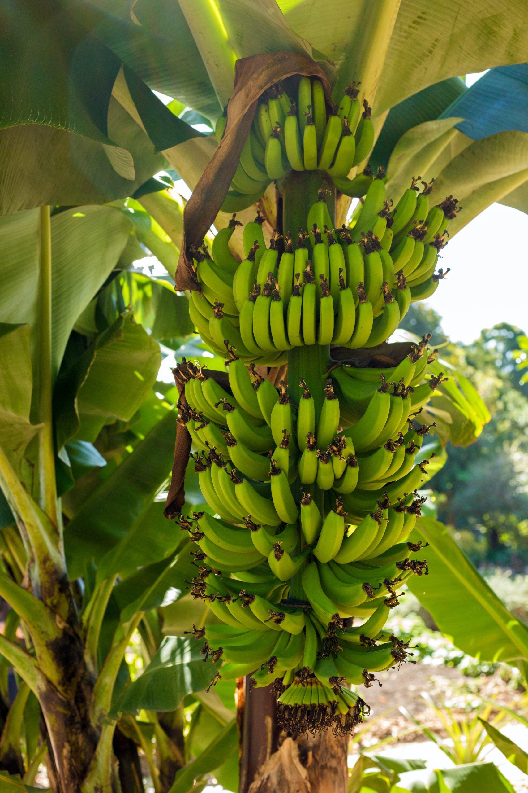 Ausgerechnet Bananen!